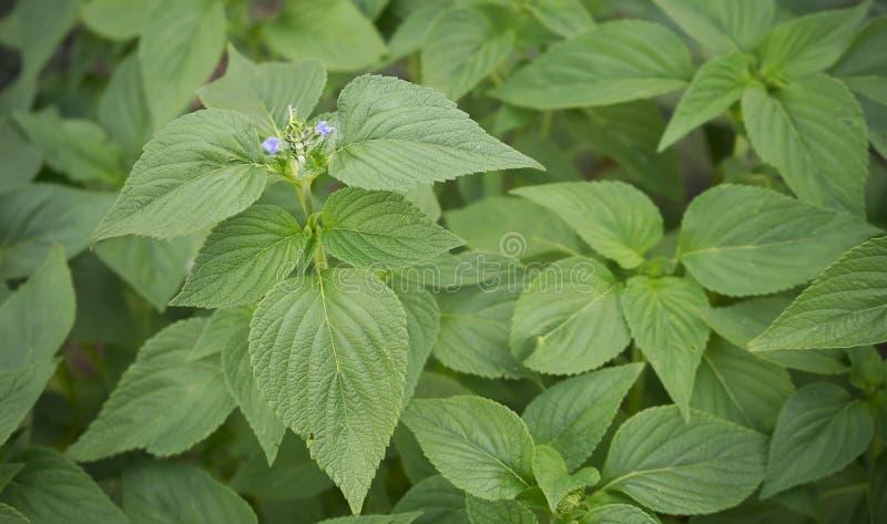 Fogliame della primavera di Salvia Chia immagine stock