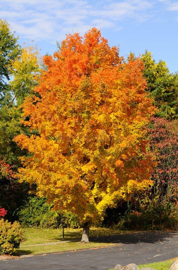 Fogliame di autunno dell'albero di acero immagine stock libera da diritti