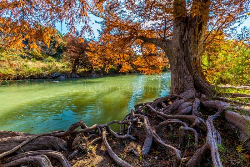 Fogliame di caduta luminoso e radici Gnarly enormi a Guadalupe State Park, il Texas fotografia stock