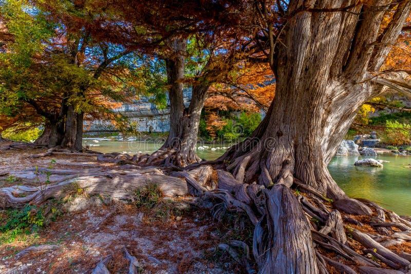 Fogliame di caduta sugli alberi di Cypress antichi a Guadalupe State Park, il Texas fotografie stock libere da diritti