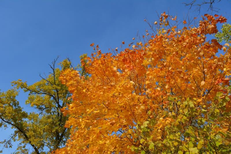 Fogliame dorato ed arancio dell'albero di acero sui precedenti di cielo blu Foresta in autunno immagine stock libera da diritti