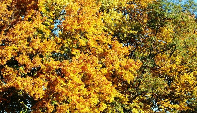 Fogliame giallo - decorazione reale degli alberi fotografie stock libere da diritti