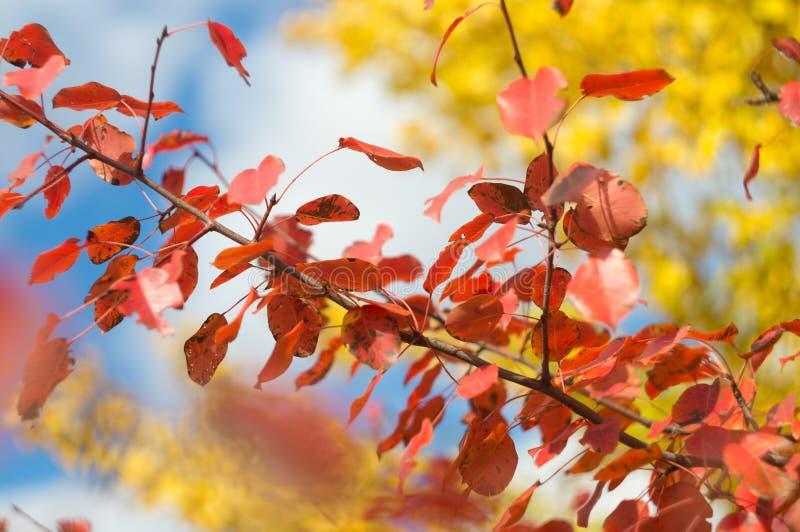 Fogliame luminoso di colore giallo e rosso sugli alberi dei rami in valle pittoresca di autunno, contro un fondo di cielo blu con fotografie stock
