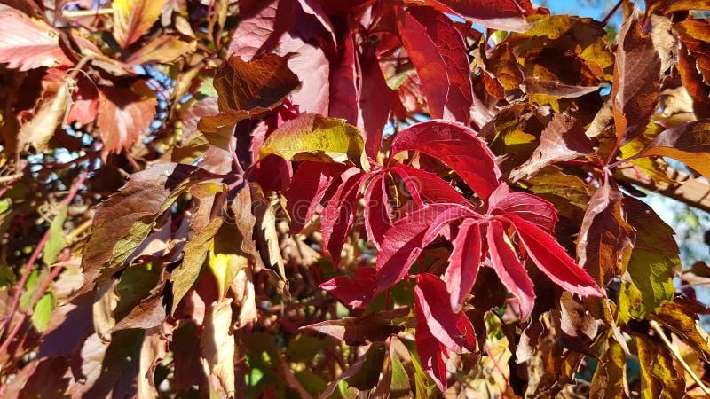 Fogliame rosso ed arancio di colore delle piante di giardino nel giorno soleggiato immagini stock