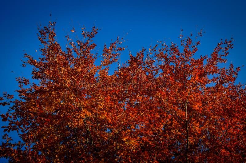 Fogliame rosso sul cielo blu fotografie stock