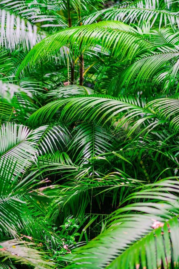 Fogliame tropicale della palma della giungla, verde chiaro tonificato fotografia stock libera da diritti