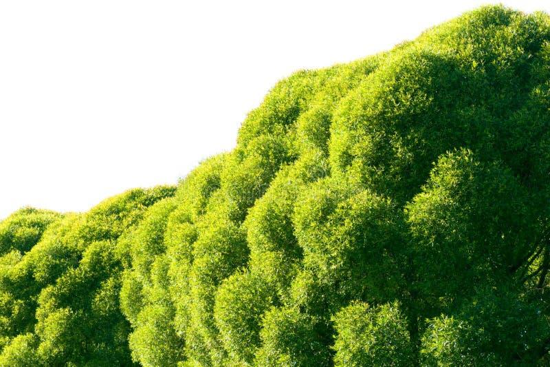 Fogliame verde fertile dell'albero di salice della crepa immagini stock