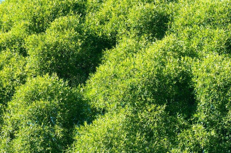 Fogliame verde fertile dell'albero di salice della crepa fotografia stock libera da diritti