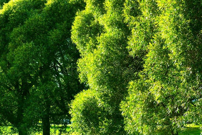Fogliame verde fertile dell'albero di salice della crepa fotografia stock