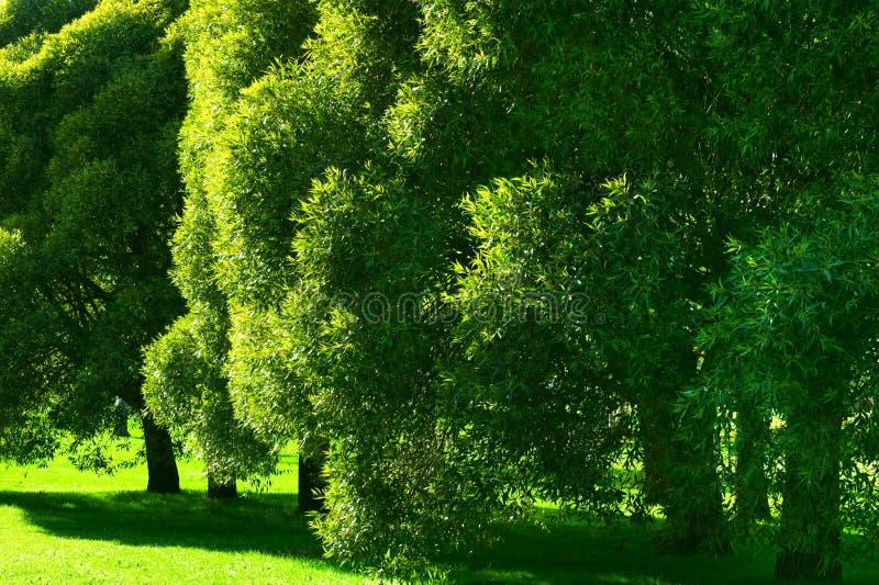 Fogliame verde fertile dell'albero di salice della crepa fotografie stock
