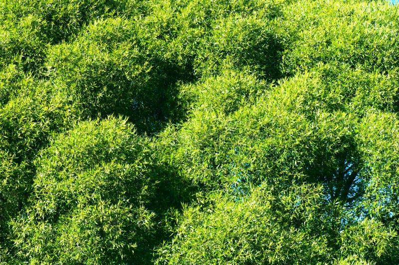 Fogliame verde fertile dell'albero di salice della crepa immagini stock libere da diritti