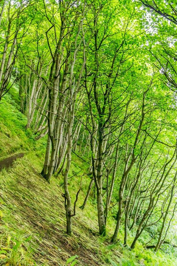 Fogliame verde intenso degli alberi di betulla d'argento densamente piantati fotografie stock