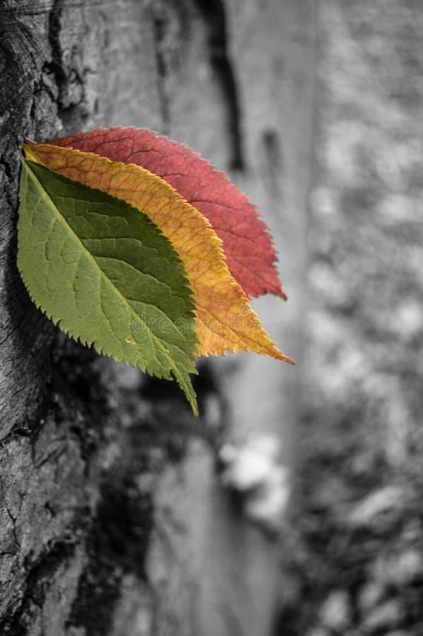 3 foglie 1 albero immagine stock