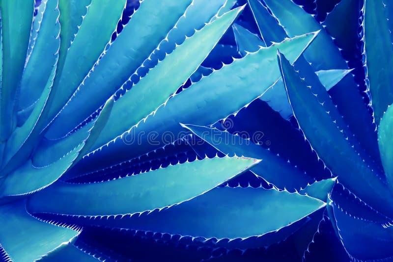 Foglie appuntite della pianta dell'agave in Tone Color blu come sfondo naturale fotografia stock libera da diritti
