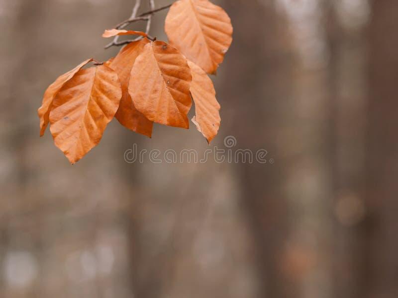 Foglie arancio del faggio, autunno in un parco immagini stock