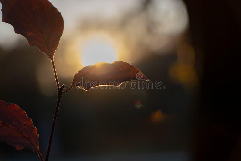 Foglie arancio del faggio sugli alberi e cielo di tramonto per il fondo di Autumm fotografie stock libere da diritti