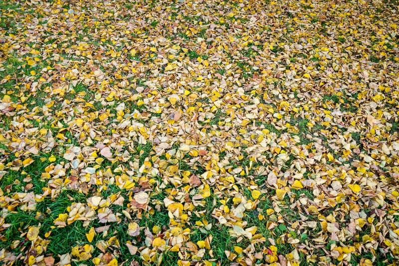 Foglie asciutte del tiglio sull'erba del grenn fotografia stock
