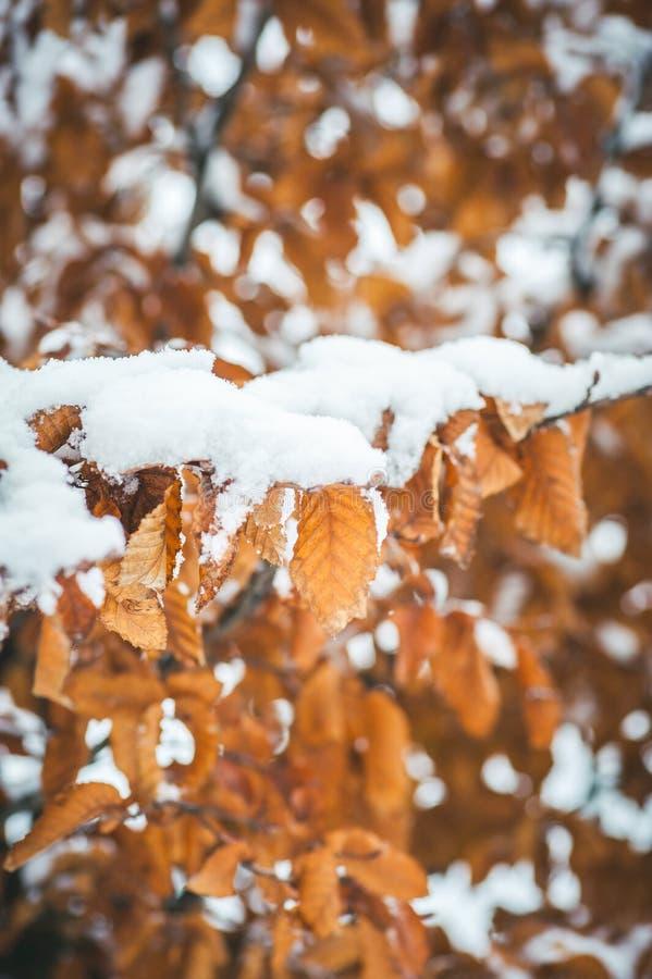 Foglie asciutte morte gialle di vecchia quercia coperte di neve nel fuoco selettivo di immagine di sfondo verticale di stagione i fotografie stock