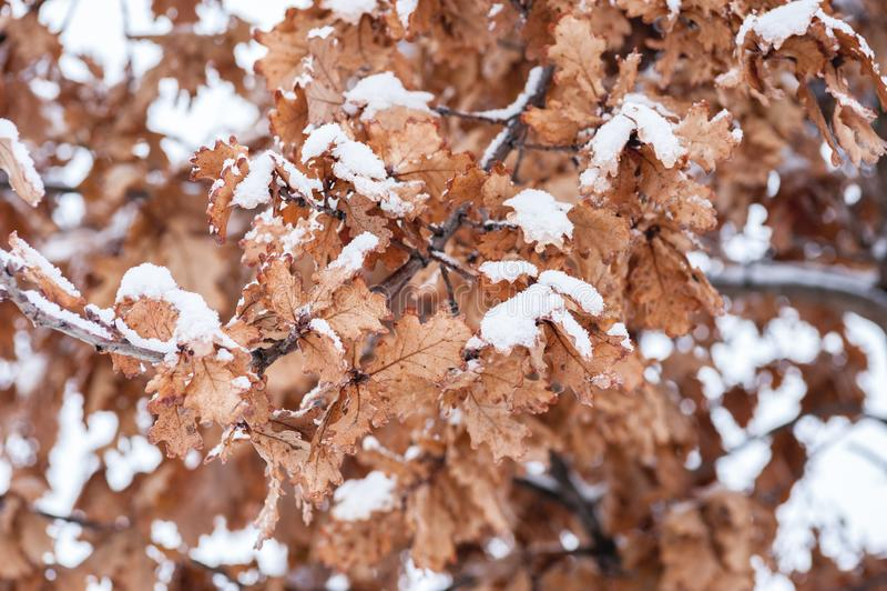Foglie asciutte morte gialle di vecchio quercus di Plantae della quercia coperto di neve nel fuoco selettivo di immagine di sfond immagine stock libera da diritti