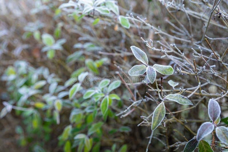 Foglie autunnali congelate sul ramo faggio fotografie stock