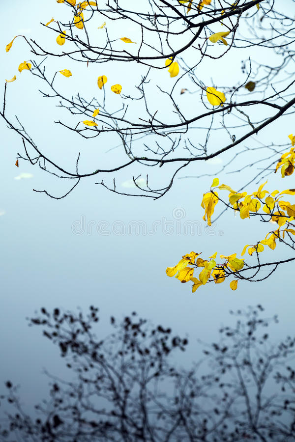 Foglie autunnali di giallo sugli alberi costieri immagine stock
