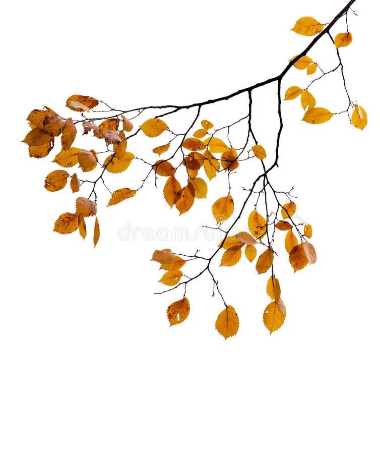 Foglie autunnali gialle sul ramo di albero isolato su bianco fotografia stock libera da diritti
