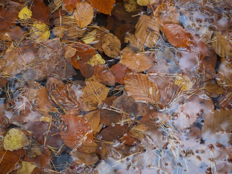Foglie bagnate della betulla e del faggio cadute autunno variopinto ed aghi del pino sulla pozza dell'acqua, fondo stagionale del fotografia stock