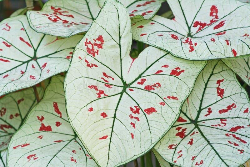 Foglie bianche, caladium bicolor, regina delle piante frondose fotografia stock libera da diritti