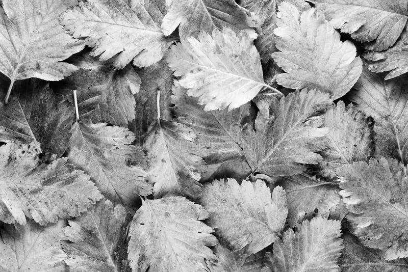 Foglie in bianco e nero fotografia stock