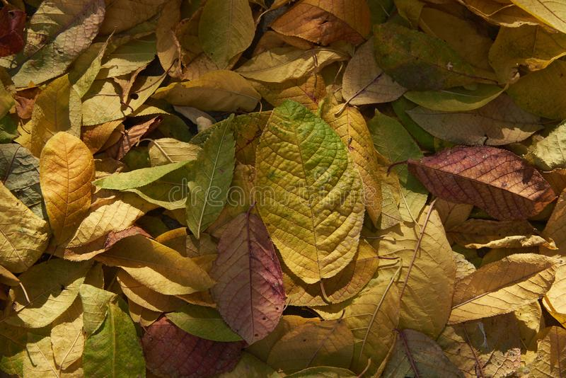 Foglie cadute autunno alla luce solare naturale immagini stock