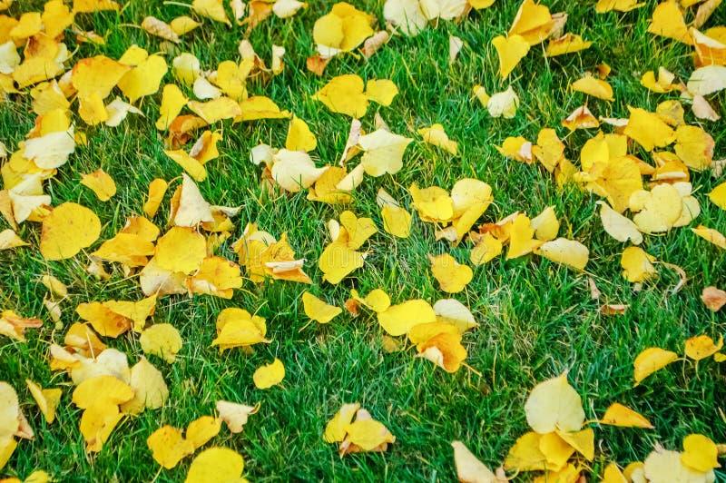 Foglie cadute gialle di autunno su erba verde fotografia stock