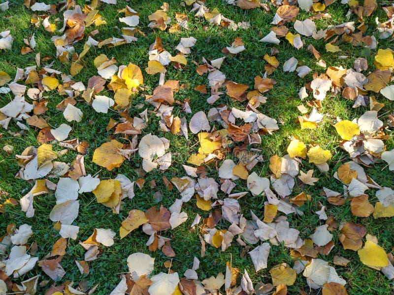 Foglie colorate d'autunno con colori vividi di giallo e marrone caduti sull'erba verde durante il cambio di stagione fotografia stock libera da diritti