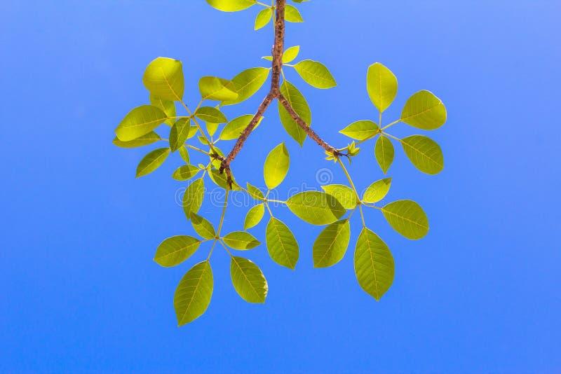 Foglie con cielo blu luminoso fotografia stock libera da diritti