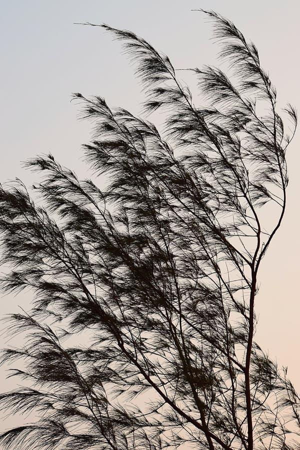 Foglie d'ondeggiamento in vento - albero del Casuarina - progettazione astratta fotografie stock libere da diritti