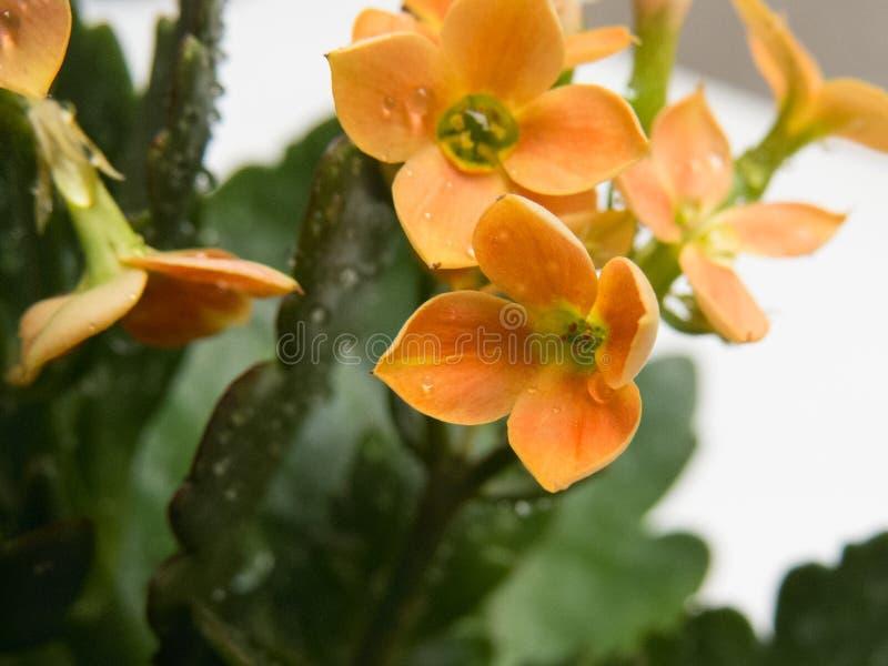Foglie del primo piano e fiori arancio, kalanchoe blossfeldiana, con le gocce di acqua fotografie stock