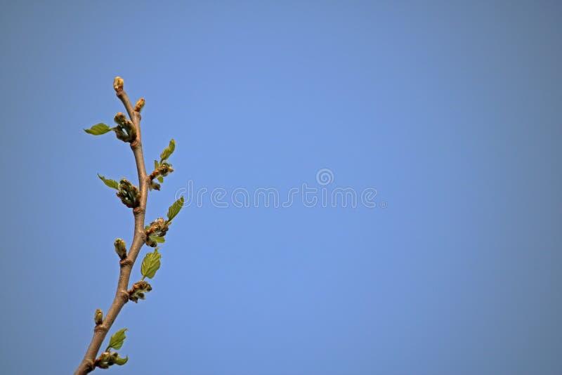 foglie del ramo di albero del gelso nuove in primavera fotografie stock