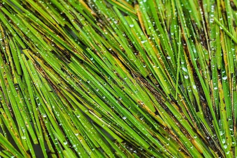 Foglie del riso con alcune gocce di acqua fotografie stock libere da diritti
