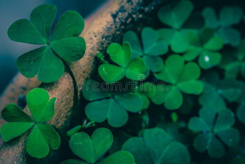 Foglie del trifoglio per fondo verde fotografia stock