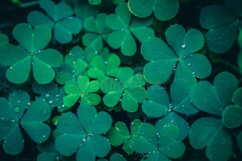 Foglie del trifoglio per fondo verde fotografie stock