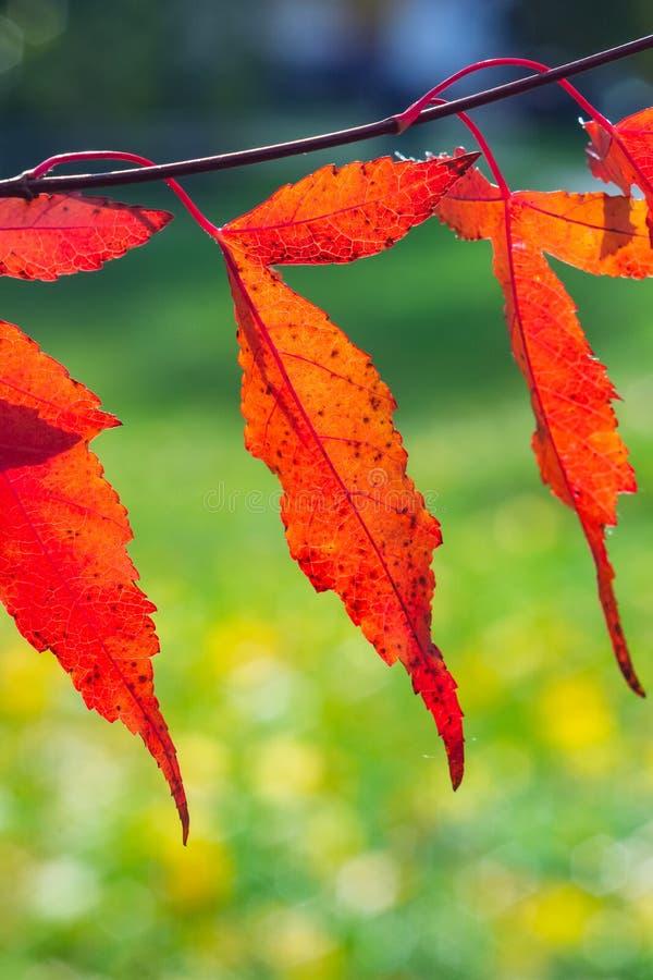 Foglie dell'acero o dell'acer ginnala dell'Amur in autunno contro luce solare con il fondo del bokeh, fuoco selettivo, DOF basso immagini stock libere da diritti