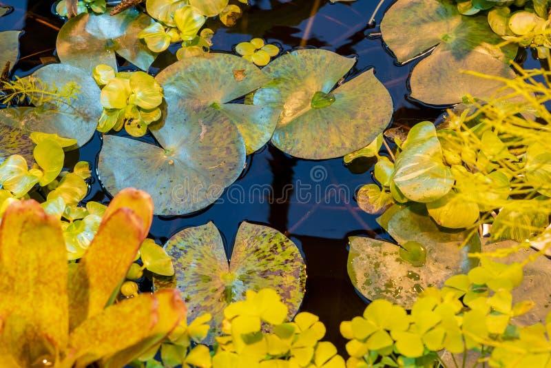 Foglie dell'acqua del cruziana di Victoria lilly sulla superficie tropicale f dell'acqua dello stagno fotografia stock libera da diritti