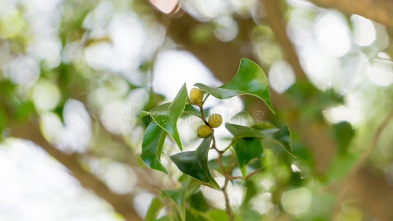 foglie dell'albero con i piccoli frutti fotografia stock