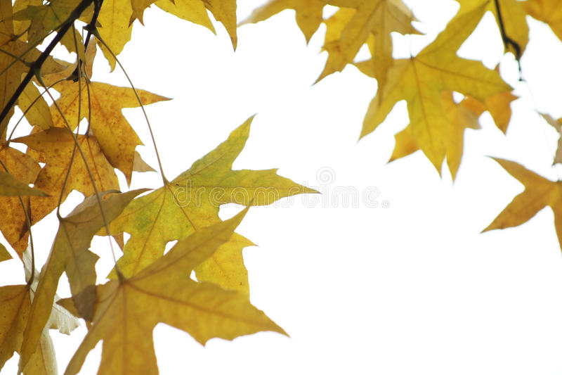 Foglie dell'albero del parasole fotografie stock libere da diritti