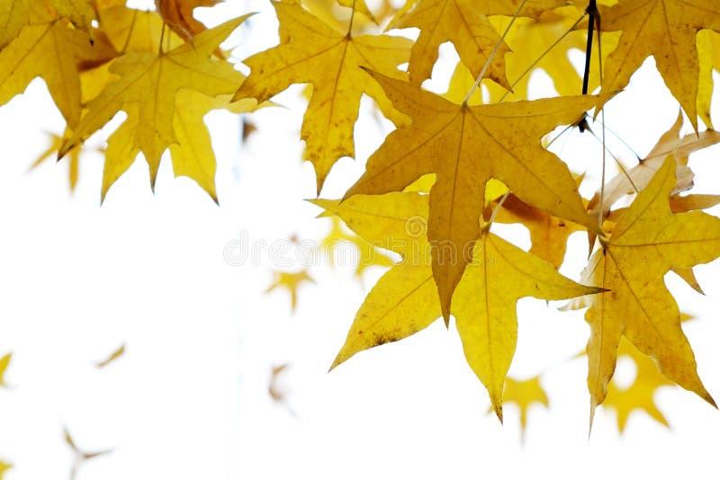 Foglie dell'albero del parasole immagine stock