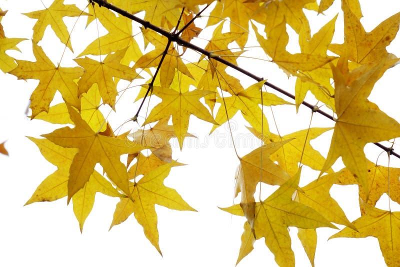 Foglie dell'albero del parasole fotografie stock