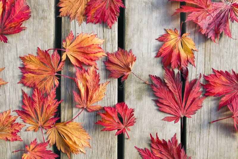 Foglie dell'albero di acero giapponese sulla piattaforma di legno immagine stock