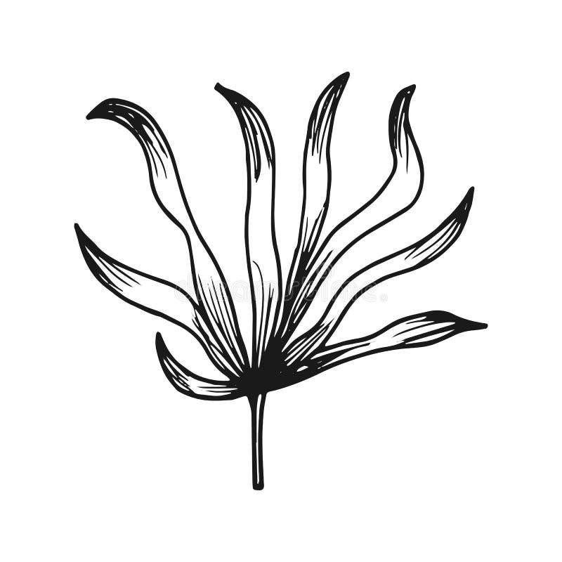Foglie dell'alga schizzo di vettore isolato su fondo bianco illustrazione vettoriale