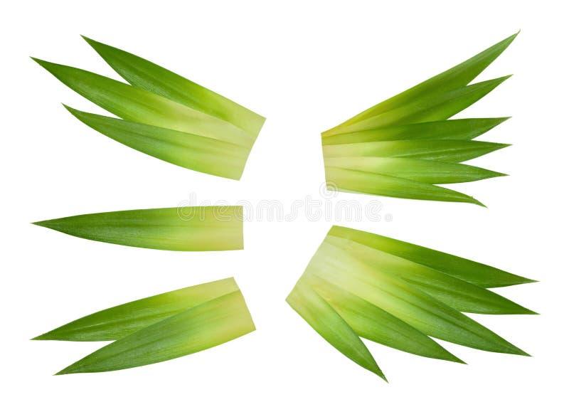Foglie dell'ananas isolate senza ombra fotografia stock libera da diritti