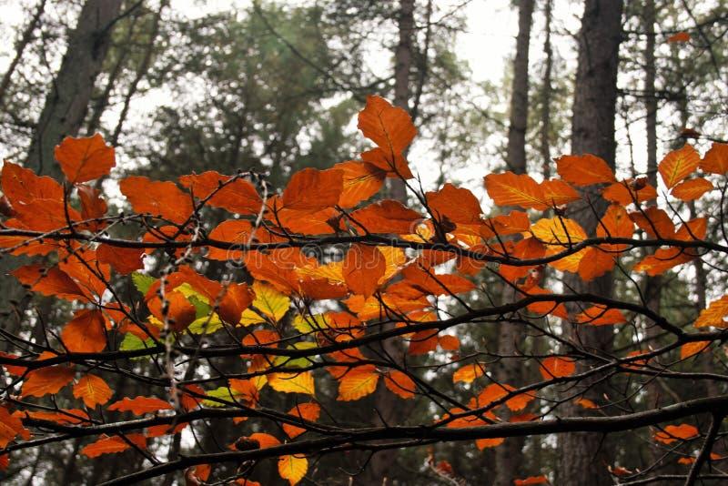 Foglie dell'arancia in vecchia foresta fotografie stock libere da diritti
