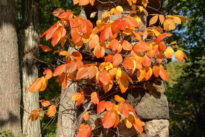 Foglie dell'edera di autunno fotografia stock libera da diritti
